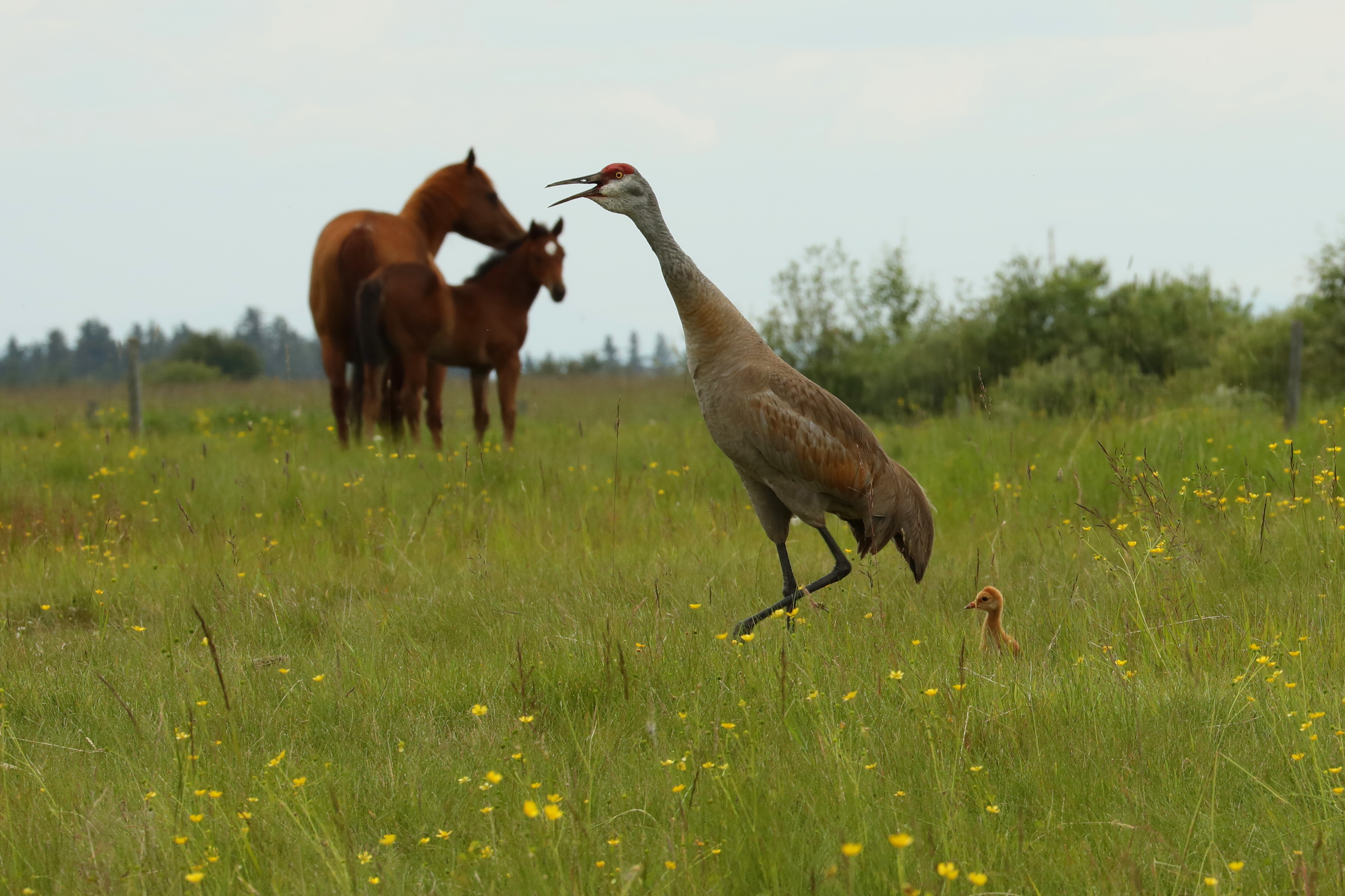 sandhill crane family shares the horse pasture
